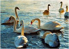 Backlit Looe Swans.