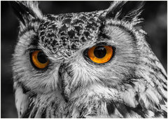Eagle Owl Eyes.
