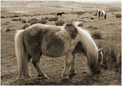 Dartmoor Pony 1.