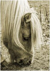 Dartmoor Pony 2.